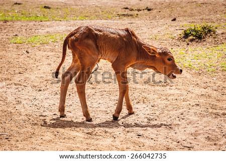 Little cow in Kenya - stock photo