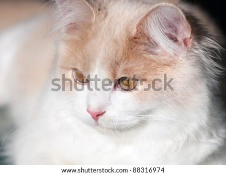 Little cream cat - stock photo