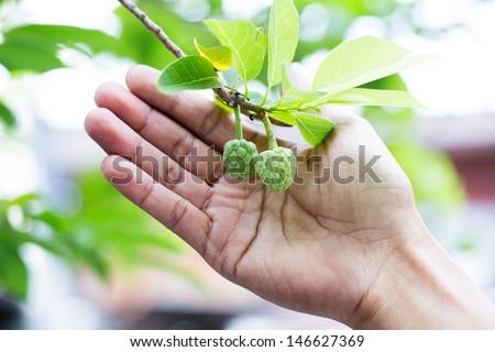 Little custard apples growing on a tree - stock photo
