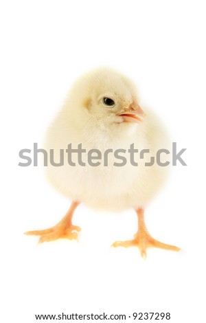 Little cute baby chicken on white background. - stock photo