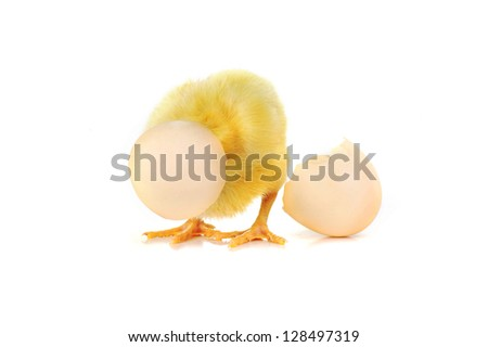 little cute fluffy  chicken and shell of egg  isolated