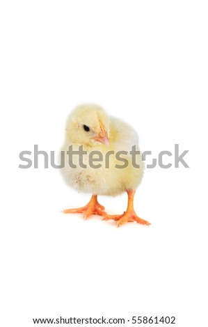 little cute fluffy  chicken  isolated