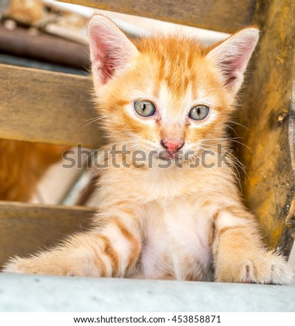 Little cute golden brown kitten with blue eyes in outdoor home backyard, selective focus on its eye