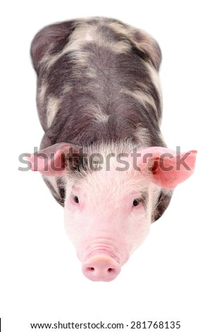 Little cute piggy, top view, isolated on white background - stock photo