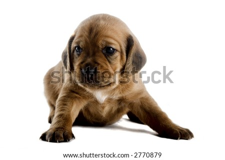 Little cute puppy isolated on white background