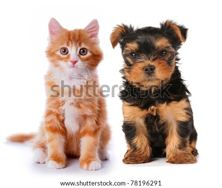Little cute puppy of yorkshire terrier and red mixed-breed kitten isolated on white. Two lovely friends sits and looking at camera!