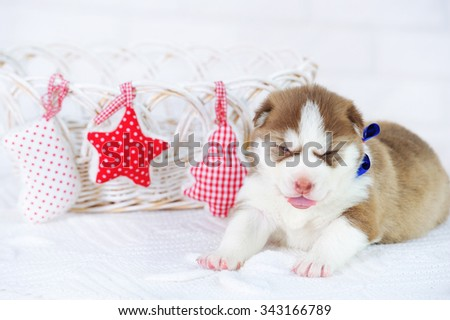 Little cute Siberian Husky puppy and Christmas decorations - stock photo