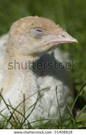 Little, cute turkey chick sleeping on the green grass - stock photo