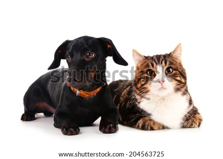 Little dachshund dog and cat isolated on white - stock photo