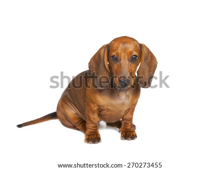 little dachshund puppy isolated on white background - stock photo