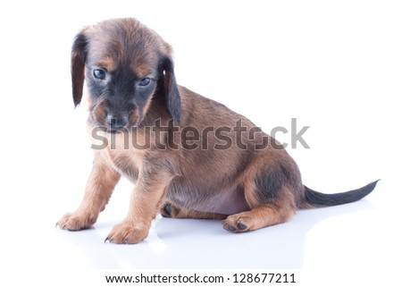 Little dachshund puppy on a white background.