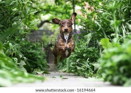 Little Dachshund puppy running in the garden - stock photo