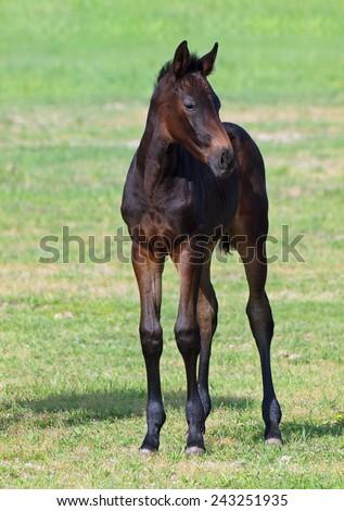Little dark-bay foal, standing on a green lawn - stock photo