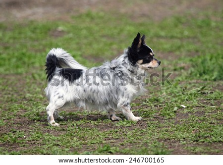 Little decorative dog on a natural background