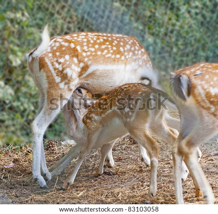 Little deer trying to eat from his mom - stock photo