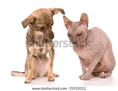 Little dog and Don Sphynx cat isolated on white background