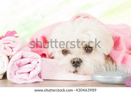 Little dog at spa resting after grooming - stock photo