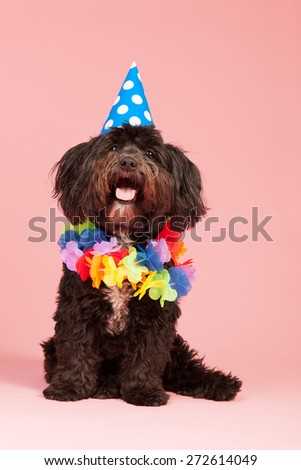 Little dog having birthday with chain and hat - stock photo