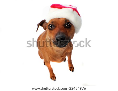 Little dog in a hat - stock photo