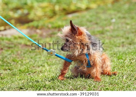 Little dog on leash - stock photo
