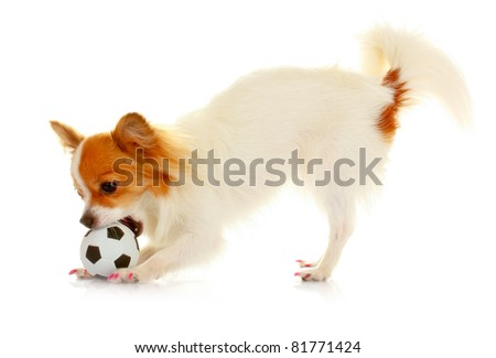 little dog playing ball isolated on white - stock photo