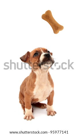 Little dog puppy is looking up in biscuit shaped as bone - stock photo
