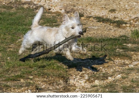 Little dog running with a stick - stock photo