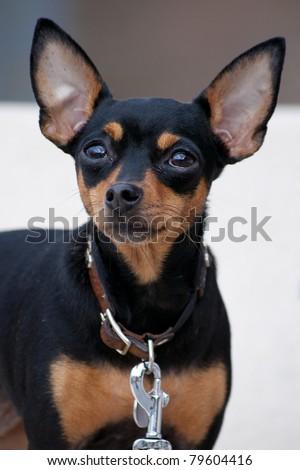 little dog with big ears - stock photo