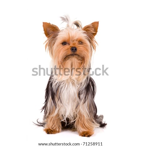 Little dog - Yorkshire Terrier - stock photo