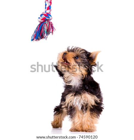 Little dog (Yorkshire Terrier) with toy - stock photo