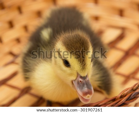 little duckling in a basket - stock photo