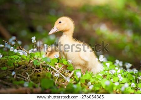 Little duckling in flowers - stock photo