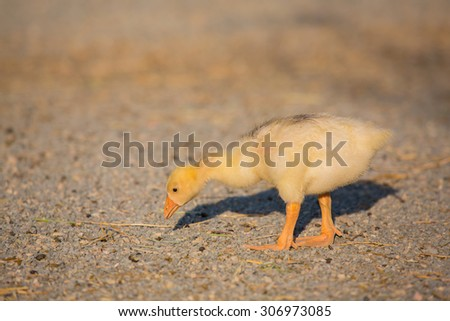 little duckling in the grass - stock photo