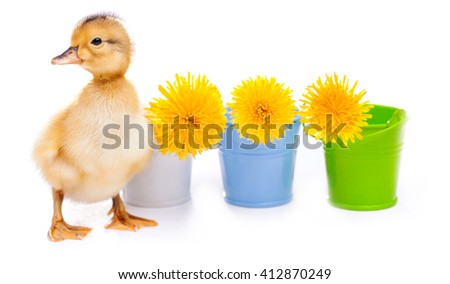little duckling on a white background - stock photo