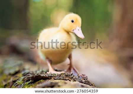 Little duckling walking on the tree - stock photo