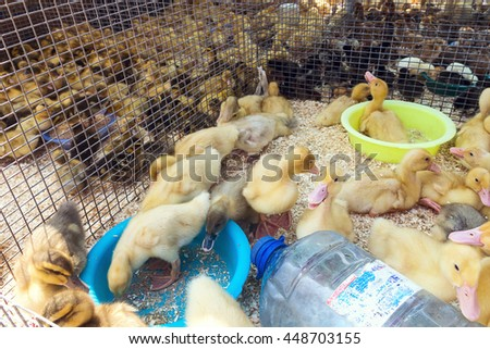 Little ducklings, chicks crowd gathered in the cage. Young ducks on a poultry farm for sale in the store. Industrial poultry small agriculture - stock photo