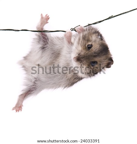 little dwarf hamster - stock photo