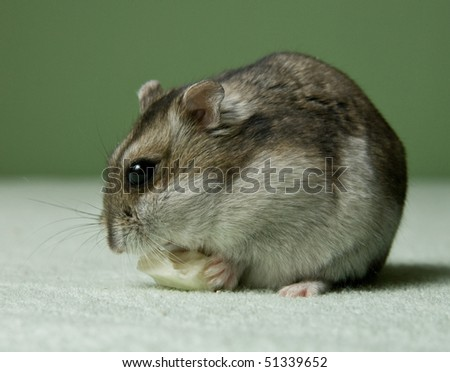 Little dwarf hamster eating a cheese - stock photo