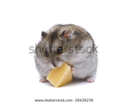 little dwarf hamster eating cheese