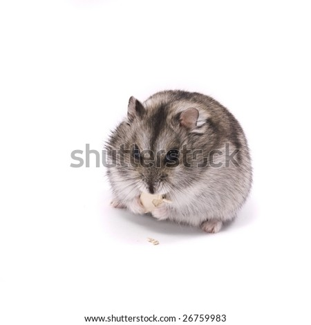 little dwarf hamster eating pumpkin seed - stock photo