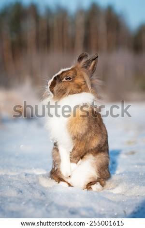 Little dwarf rabbit standing on hind legs in winter - stock photo