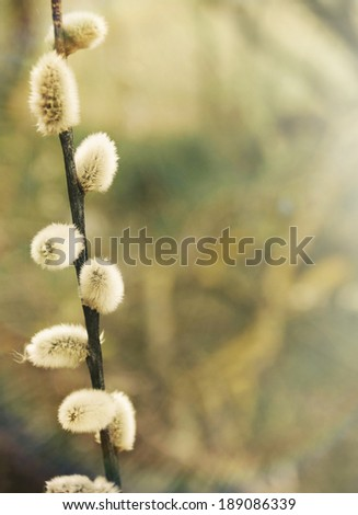 little early bud on spring background beauty of nature in sunrise beam  - stock photo