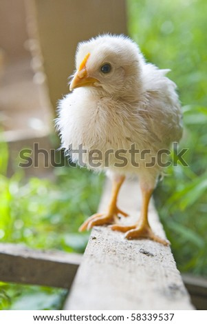 Little easter chick on wood - stock photo