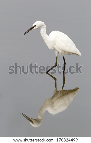 Little egret, Egretta garzetta, single bird in water, Sussex, August 2013