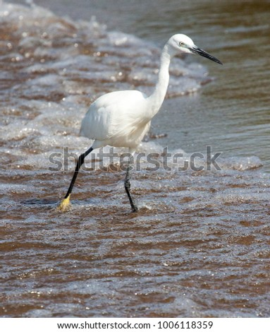 Little egret (Egretta garzetta) wading on the shore of Lake Victoria, Kenya