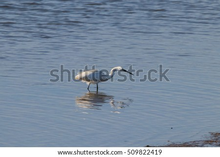 "Little egret fishing in natural area ""Marismas del Odiel"", Huelva, Andalusia, Spain"
