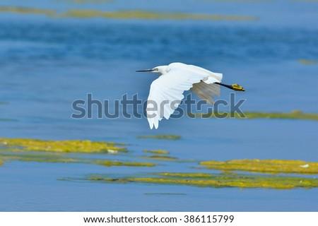 Little Egret flying - stock photo