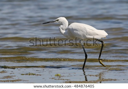 Little Egret in river, Egretta garzetta