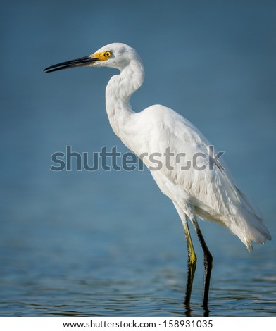 Little egret standing in the waters of Jamaica Bay Wildlife Refuge, Queens, New York. This heron family bird was photographed when having a rest while fishing. - stock photo