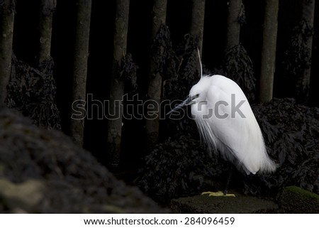 Little Egret stood at the entrance to a dark culvert, Hayle Estuary RSPB Reserve, Cornwall, England, UK.